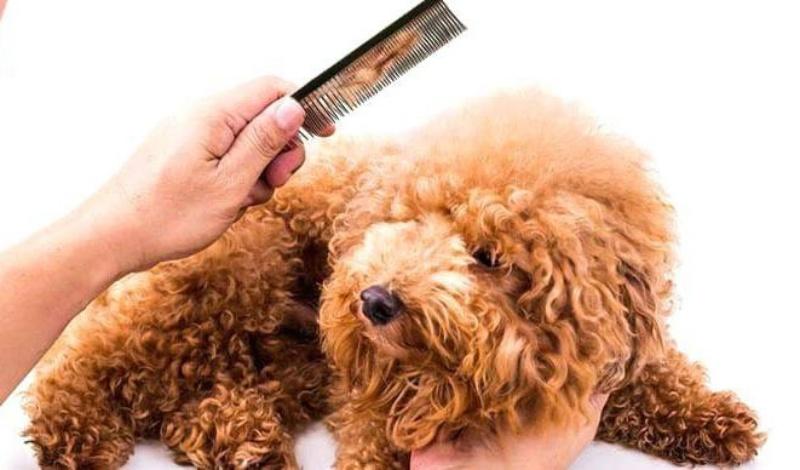 Chải lông cho chó để khắc phục và giảm thiểu lông bị rối