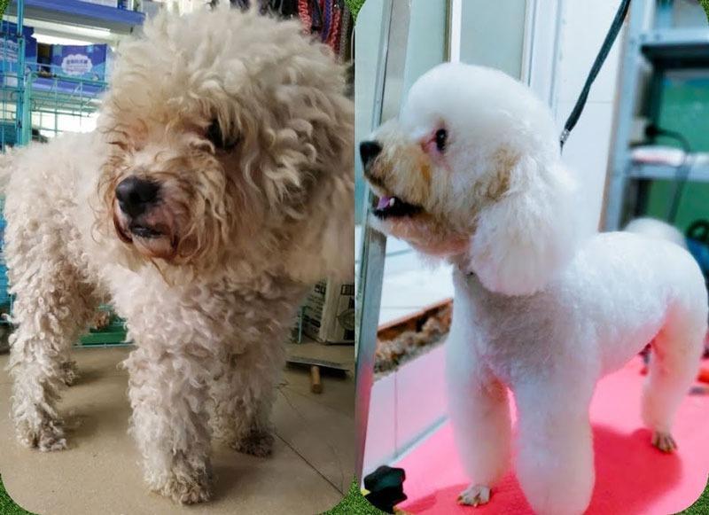 Mang cún đi cắt tỉa lông định kỳ để có bộ lông tuyệt vời nhất