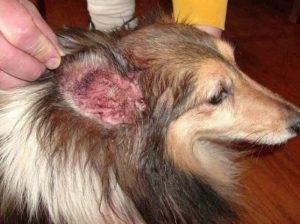 Bệnh viêm tai là bệnh thường gặp ở chó Poodle