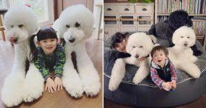 Poodle giant chính là cụm từ dùng để chỉ dòng chó Poodle có kích thước khổng lồ
