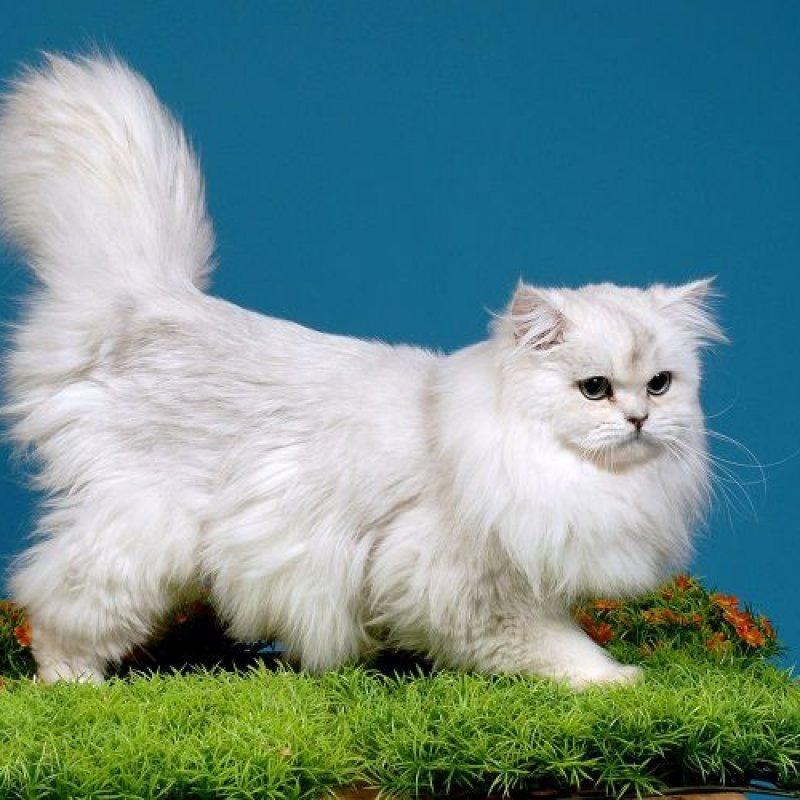 Mèo Anh Lông Dai (ALD) nổi tiếng nhờ bộ lông bóng mượt và đẹp của mình.