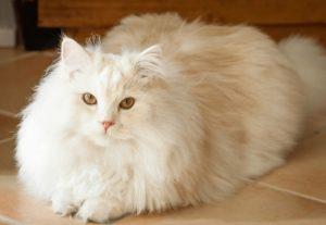 Chăm sóc dinh dưỡng cho mèo ALD tốt sẽ hạn chế các bệnh về sau này.