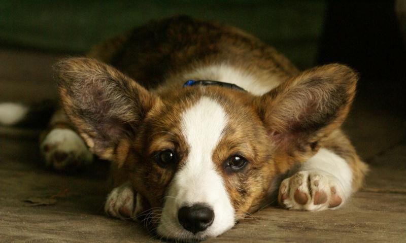 Đi tiểu nhiều có thể khiến chó luôn ở trong tình trạng mệt mỏi.
