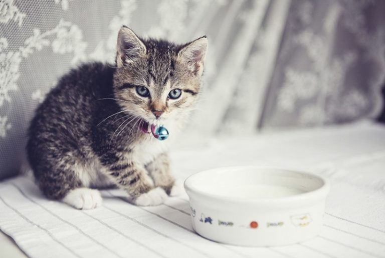 Mèo Maine Coon Khổng Lồ Và Những Thông Tin Cần Biết